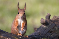 Red Squirrel 2016-03-10-0232 (BZD1) Tags: nature animal mammal natuur rodentia eekhoorn sciurusvulgaris sciuridae knaagdier chordata sciurus