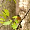 Resident Bluebird (3) (tommaync) Tags: blue trees usa brown white bird nature animal nc nikon wildlife beak northcarolina april bluebird pittsboro chathamcounty 2016 d40