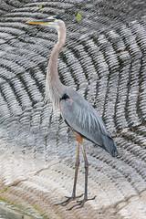 20160423-_74P1612.jpg (Lake Worth) Tags: bird nature birds animal animals florida outdoor wildlife wing feathers wetlands everglades waterbirds southflorida birdwatcher canonef500mmf4lisiiusm canoneos1dx