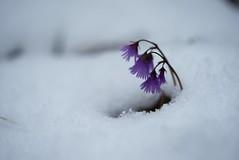 Springs Setback (bandit4czm) Tags: schnee snow spring frhling alpenglckchensoldanellaalpina