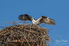 Osprey returns from Home Depot sequence - 26 of 27