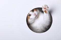 Metro Goldwyn Mayer (*Chris van Dolleweerd*) Tags: cat studio 50mm ginger hole pussy highkey pussycat strobist chrisvandolleweerd