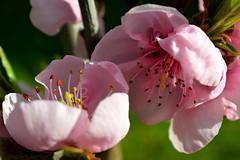 Spring me joy (vegeta25) Tags: pink flowers flower macro spring nikon mothernature d3200 prunuspersica mothernatureatherbest 52weeksthe2016edition week132016 weekstartingfridaymarch252016