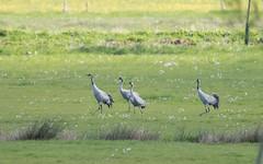 Cranes on Aller Moor 2016-04-27 (Steve Balcombe) Tags: uk bird crane somerset levels grus grusgrus allermoor greatcraneproject