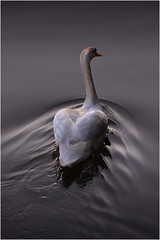 Swan _002 (cees van gastel) Tags: nature water netherlands swan nederland natuur breda zwaan tamron70300mm ceesvangastel canoneos550d waterdonken waterakkers