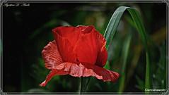 Fa sempre piacere vederli... e riprenderli - Aprile-2016 (agostinodascoli) Tags: macro texture nature nikon erba fiori nikkor piante rosso sicilia papaveri cianciana