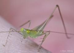 20160401 - 03  Carnivorous, hence the spikes. (Henry Aldridge) Tags: singapore insects katydid orthoptera tettigoniidae henryaldridge asiophlugistemasek