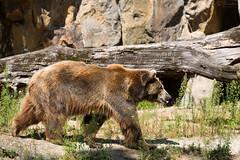 Brown bear (Cloudtail the Snow Leopard) Tags: bear brown berlin animal mammal zoo tier ursus br braunbr sugetier arctos