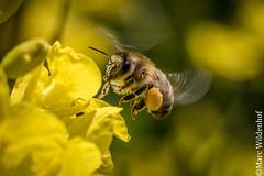 Bee / Biene (Marc Wildenhof) Tags: macro animal canon germany deutschland eos hessen bee nahaufnahme oberursel canoneos7dmarkii