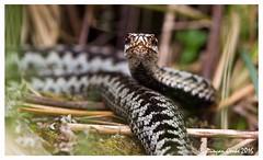DS0D3389-Adder (duncancooke.happydayz) Tags: uk bridge nature animal native outdoor reptile snake wildlife british hay amphibians snakes reptiles adder vipera berus naturesgreenpeace