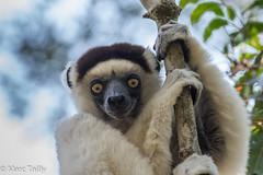 MarcTailly_mgb20150822455.jpg (hayastanlover) Tags: animals lemur mammals madagascar dieren primates primaten zoogdieren