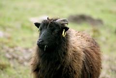 Hebridean Sheep at Silent Valley (mikejones7734) Tags: nature sheep naturereserve silentvalley hebridean ebbwvale gwentwildlifetrust