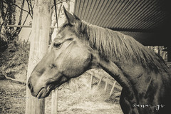 my love (ana.gr.) Tags: bw horse sepia vintage equestrian equine hipica ubiarco