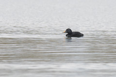 Common Scoter (lord wardlaw) Tags: lake bird mill duck sony sigma forge common westmidlands scoter rspbsandwellvalley
