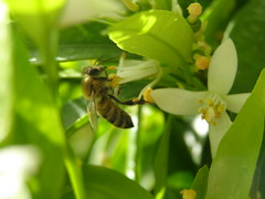 (Psinthos.Net) Tags: morning light sunlight nature leaves tangerine countryside spring wings body head blossoms bee april pollen sunrays antennas whiteblossoms      psinthos