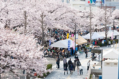 (Wunkai) Tags: japan  cherryblossom sakura     ibarakiken  hitachishi