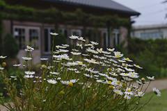 _DSC2051 (Osamu1965) Tags: flower japan zeiss garden spring sony contax jp   okayama     a7m2  carlzeissvariosonnart2870mmf3545mm