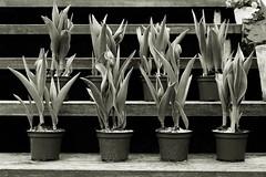 tulips (pix-4-2-day) Tags: flower monochrome stairs spring tulips steps blumen treppe pots topf monochrom frhling tulpen treppenstufen schwarzweis