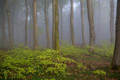 IMG_3461 (ZoRRaW photography) Tags: mist tree fog forest spring luxembourg neuhausgen