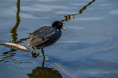 What Big Feet You Have! (C-Brese) Tags: foot stretch american stretching coot americancoot fulicaamericana