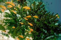 A school of Scalefin Anthias (Pseudanthias squamipinnis) near a Black Sun Coral (Tubastrea micracantha (agasfer) Tags: life fish canon marine underwater scuba diving powershot maldives topaz carpediem 2016 intova restyle s95 iss2000 carpenovo