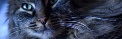 Small group weekly challenge - Whiskers- One of our cats, Frasse,  with his pretty whiskers (helena_granno) Tags: cats animal cat nose whiskers
