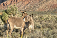 Peck on the Neck (magnetic_red) Tags: friends plants mountains cute nature animals loving outdoors eyes kiss desert natural affection pair nevada tail ears redrock playful affectionate burros americanwest