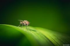 Sance de bronzage (Naska Photographie) Tags: macro photo photographie mouche insectes proxy macrophoto photographe macrophotographie proxyphoto naska