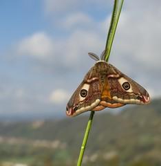 Kleines Nachtpfauenauge [ Small Emperor Moth ] [ Mindre pfgelspinnare ] ( saturnia paronia ) (ritschif) Tags: butterfly natur insekten schmetterling nachtfalter kleinesnachtpfauenauge mindrepfgelspinnare nattfjrilar smallemperormoth saturniaparonia