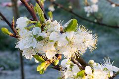 20160417-IMG_4493.jpg (btysoe) Tags: flower garden frost blossom plumtree