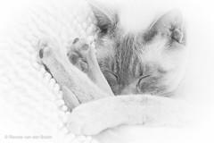 Catnap (Renate van den Boom) Tags: katten europa nederland thuis mack jaar gelderland 2016 maand 04april renatevandenboom