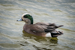American Widgeon (ausmc_1) Tags: canada male birds britishcolumbia wildlife delta april d800 2016 georgecreifelmigratorybirdsanctuary americanwidgeonanasamericana