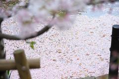 20160410-DSC_8519.jpg (d3_plus) Tags: sky plant flower history nature japan trekking walking temple nikon scenery shrine bokeh hiking kamakura fine daily bloom  28105mmf3545d nikkor    kanagawa   shintoshrine   buddhisttemple dailyphoto   thesedays kitakamakura  28105   fineday   28105mm  historicmonuments  zoomlense ancientcity       28105mmf3545 d700 281053545 nikond700  aiafzoomnikkor28105mmf3545d 28105mmf3545af aiafnikkor28105mmf3545d