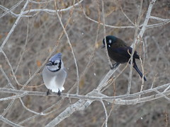 Birds: A Blue Jay & a Grackle (Gerald Barnett) Tags: blue winter black tree bird nature beautiful beauty weather birds closeup outdoors grey illinois peace jay bokeh availablelight wildlife birding gray peaceful atmosphere naturallight aves grackle calm bluejay harmony bluejays pajaro jays wintertime inspirational contemplative ornithology birdwatching commongrackle quiscalusquiscula oiseau extraordinary bestpicture avian bluebirds vogel avis cyanocittacristata grackles bestpic wildbirds northamericanbirds bestphoto wildlifephotography naturalcolor perfectpicture commongrackles perfectpic birdsofnorthamerica wildbirdphotography