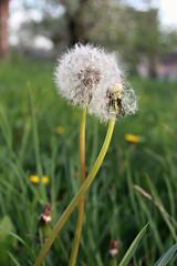 nature true love (Anny-justme) Tags: flowers light white blur green nature grass outside dof dandelion wish lovely tarassaco