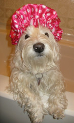 "4/12B ~ ""Splish Splash, Riley's ready for a bath"" (ellenc995) Tags: riley bath westie westhighlandwhiteterrier coth supershot abigfave pet500 pet100 rubyphotographer alittlebeauty challengeclub coth5 thesunshinegroup 12monthsfordogs16"