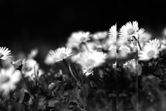 a skipped beat (Therese Trinko) Tags: madrid flowers blackandwhite bw flores primavera spring spain