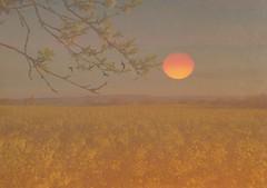 Sunset over rapefield (hans 1960) Tags: sunset sky sun colour sol nature yellow landscape outside atardecer soleil ast outdoor natur himmel compo gelb landschaft farben rapsfeld rapefield