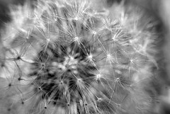 wishes (LaLa83) Tags: ohio blackandwhite bw macro nature outdoors spring weed flora sony marcy dandelion wishes april alpha makeawish 2016 a230 slaterun pickawaycounty ruralohio slaterunmetropark ohiofoothills hikeohio adventureohio