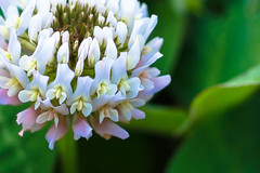 universe within white clover (oceanT) Tags: flower macro nature cropped    whiteclover