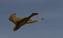 _DSC4261_v1 (rsh_945) Tags: ca nature livermore springtown