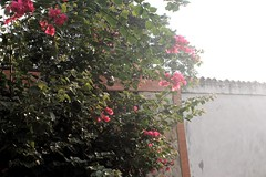 IMG_1283.CR2 (dernst) Tags: trinitarias bougainvilleas