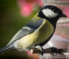 Cinciallegra (cbergy) Tags: uccelli animali parusmajor terrazzo arenzano