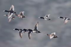 Ring-necked Duck (Gregory Lis) Tags: britishcolumbia ringneckedduck aythyacollaris burnabylake nikond7200 gorylis gregorylis
