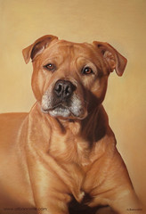 Macy (Pastel Drawing on Pastel Card) (Ali Bannister) Tags: portrait art painting drawing pastel rottweiler ali terrier ridgeback macy commission staffordshire bannister staffy rhodesian
