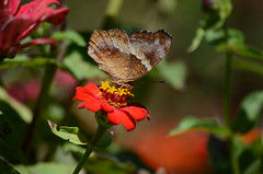 Butterfly (ugacostarica) Tags: nature butterfly costarica wildlife zinnia ugacr ugacostarica