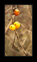 Berries 2 (Rose & Crown Photographers) Tags: winter orange yellow stem nikon berries coolpix marumi p7100 nickmatthews macro2005