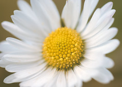 Daisy (oandrews) Tags: flowers winter plants white green nature floral yellow outdoors petals flora pretty miltonkeynes unitedkingdom buckinghamshire daisy dasies signsofspring gbr weirdwinter ukspring