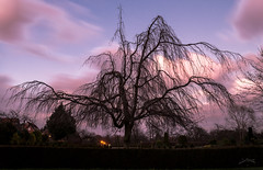 Weeping Willow (PauliMatze) Tags: weide willow baum willowtree langzeitbelichtung trauerweide