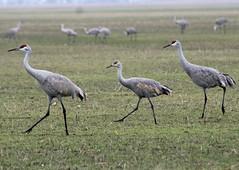C14 (ksueharris) Tags: birds cranes migration sandhillcranes